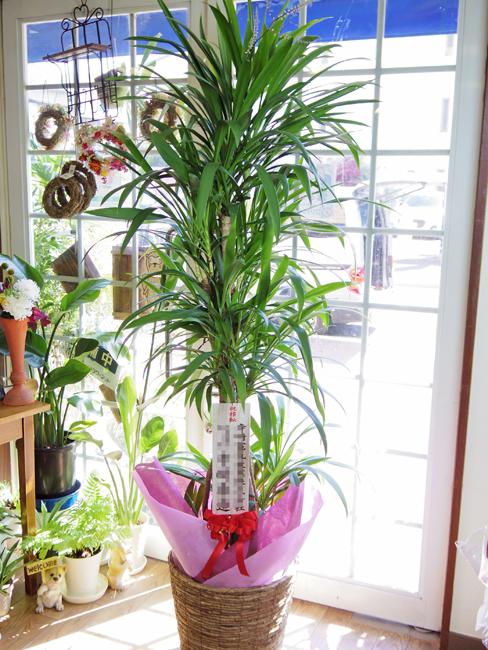 観葉植物 名古屋 開店祝