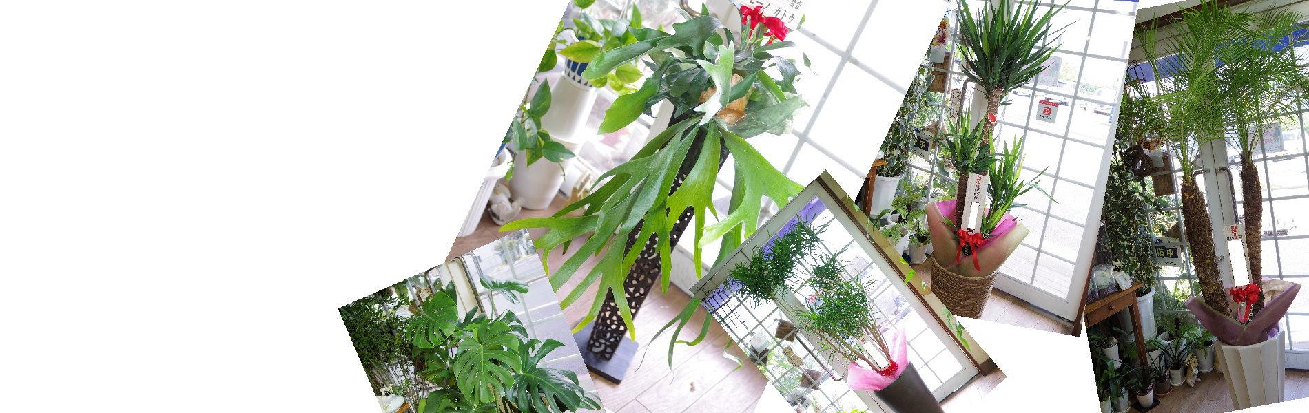 観葉植物(名古屋の花屋さん)